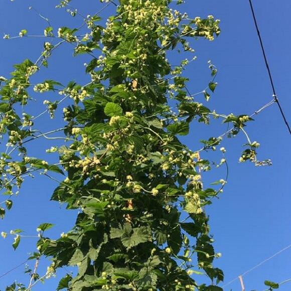 Hop Rhizomes: Colorado Grown